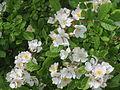 20140509Rosa multiflora17.jpg