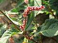 20140701Persicaria lapathifolia6.jpg