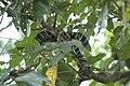 2014 Borneo Luyten-De-Hauwere-Snake-02.jpg