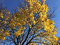 2016-11-18 11 50 42 Norway Maple displaying autumn foliage along Allness Lane between Dairy Lou Drive and Kinross Circle in the Chantilly Highlands section of Oak Hill, Fairfax County, Virginia.jpg