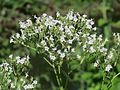 20160701Valeriana officinalis4.jpg