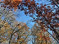 2017-11-23 13 04 11 View up into the canopy of several trees during late autumn along Stone Heather Drive near Stone Heather Court in the Franklin Farm section of Oak Hill, Fairfax County, Virginia.jpg