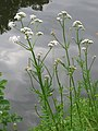 20170617Valeriana officinalis2.jpg