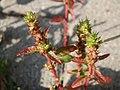 20170928Amaranthus retroflexus3.jpg