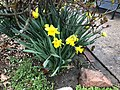 2018-04-04 12 04 54 Single and double daffodils blooming along Terrace Boulevard in Ewing, New Jersey.jpg