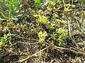 20180614Scleranthus annuus4.jpg