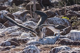 20180805-Blue-footed booby (juvenile and adult), feeding of the juvenile at Seymour Norte (9263).jpg