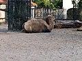 20181007 Artis Zoo - Camelus dromedarius.jpg