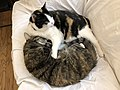 2020-04-04 02 57 53 A Calico cat and a tabby cat cuddling on a couch in the Franklin Farm section of Oak Hill, Fairfax County, Virginia.jpg