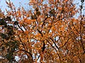 2020-11-07 16 49 05 View up into the canopy of a large Red Maple with multiple instances of Mistletoe in autumn along Elderberry Place in the Franklin Glen section of Chantilly, Fairfax County, Virginia.jpg