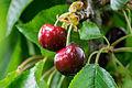 2 cherries.jpg
