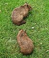 2 southern hairy-nosed wombats.jpg