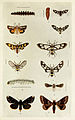 32-Indian-Insect-Life - Harold Maxwell-Lefroy - Syntomids-and-Noctuids.jpg