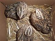 3 Japanese quails less than 1 year old.JPG