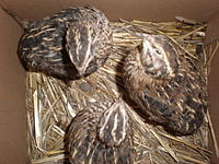 3 Japanese quails less than 1 year old.JPG