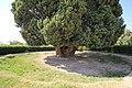 4,000-year-old Iranian cypress (6223659870).jpg
