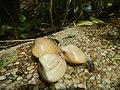 4217Foods Common houseflies Ants of the Philippines 07.jpg