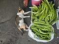 9935Black tortoiseshell and white cat portraits in the Philippines 02.jpg
