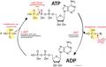 ADP ATP cycle.png