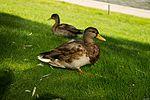 A Duck (21143400399).jpg