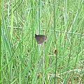 A Ringlet Butterfly in Hill of Coull forest - geograph.org.uk - 867239.jpg