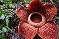 A blooming Raflesia arnoldi.jpg