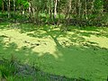 A ditch full of duckweed with birches on the wet peat borders; North-Netherlands, spring 2012.jpg