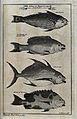 A variety of fish from the Sierra Leona, including a parrot- Wellcome V0022076.jpg