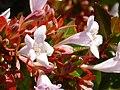 Abelia x grandiflora enfoque 2010-11-05 ParqueElPilarCiudadReal.jpg