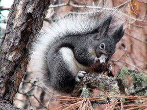 Abert's squirrel - Image: Aberts squirrel