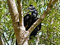 Abyssinian Ground Hornbill (Bucorvus abyssinicus) female (7080473339).jpg