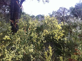 Acacia cochlearis - Acacia cochlearis thicket under Eucalyptus trees near Two Peoples Bay Nature Reserve