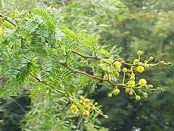 Acacia Karroo Wikipédia A Enciclopédia Livre