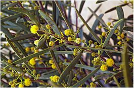Acacia ligulata branch with flowers Friends of the Great Victoria Desert.jpg