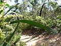 Acacia obtusifolia leave 1.jpg