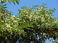 Acacia sieberiana, blomme, Pretoria, d.jpg