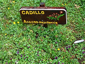 Acaena magellanica at Hornopiren Chile botanical station 07 Feb 2010.jpg