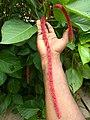 Acalypha hispida, cat's tail, പൂച്ചവാലൻ 2.jpg
