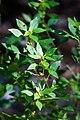 Acalypha rhomboidea (37289769435).jpg