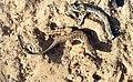Acanthodactylus-beershebensis2.jpg