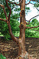 Acer griseum trunk.jpg