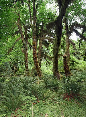 Temperate rainforest - Maples covered with epiphytic moss in the Hoh Rainforest