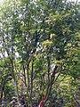 Acer palmatum 6zz.jpg