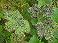Aceraceae-Plant-diseases.JPG