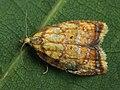 Acleris bergmanniana - Yellow rose button moth (27454454088).jpg