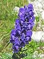 Aconitum napellus (43084672805).jpg