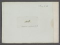 Acridium - Print - Iconographia Zoologica - Special Collections University of Amsterdam - UBAINV0274 066 02 0029.tif