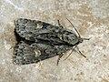 Acronicta strigosa - Marsh dagger - Стрельчатка малая (41053738621).jpg