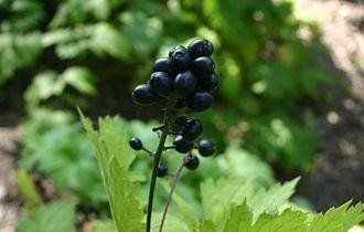 Actaea spicata - Actaea spicata fruit