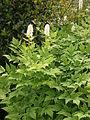 Actaea pachypoda04.jpg